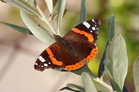 Atalanta Butterfly