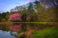 Sunrise pond pink flowering tree