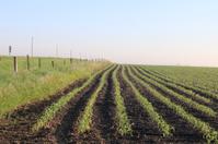 Iowa Corn in Early June
