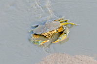 Sea Crab in watercouse waiting for food.