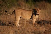 Lioness in the Kruger National Park