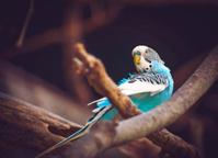 Parakeet on Wooden Branch