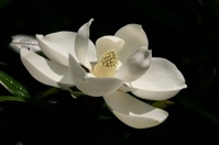 One White Magnolia Macro Close Up Isolated On Black