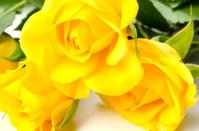 Yellow Rose-Rosa sp.