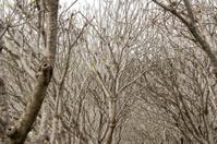 Frangipani plumeria branch