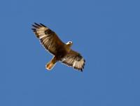 Long-legged Buzzard soaring in a sky Kalmykia..