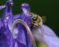 Eating bee at columbine