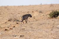 Solitary hyena in the savannah - Kenya
