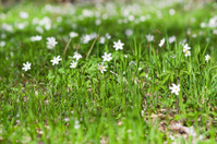 Anemone sylvestris in spring forest
