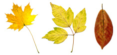 perfect autumnal leaf