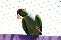Pájaro verde comiendo