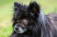 Blind Pomeranian dog with eyes sewn shut