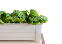 Hydroponic vegetables growing in pot on white background