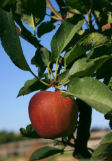 Farm fresh apple