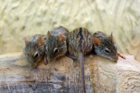 Barbary striped grass mouse (Lemniscomys barbarus)