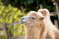 Portrait of camel