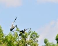 Wood Stork Attack On Anhinga
