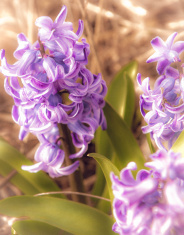 Glowing Purple Hyacinths