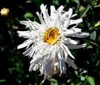 White Chrysanthemum 2