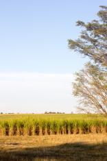 Sugar Cane in KwaZulu-Natal, South Africa
