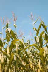 Tops of Corn Stalks against sky