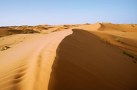 The desert camels