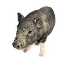 cross-bread vietnamese potbellied pig with wild boar