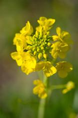 Rapeseed-Brassica sp.