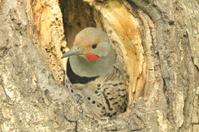 Northern Woodpecker