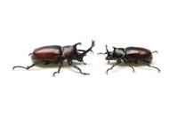 Japanese Rhinoceros Beetle-Trypoxylus dichotomus