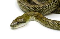 Japanese Rat Snake-Elaphe climacophora