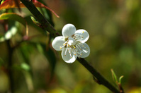 Chinese plum flowers blooming in the park
