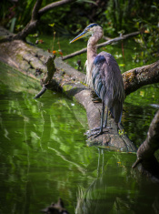 Blue Heron Perched on a Log