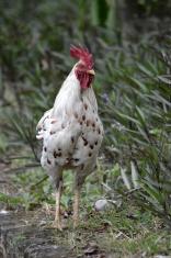 white cock