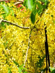 Golden shower,Cassia fistula,