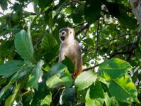 Squirrel Monkey surveys the land