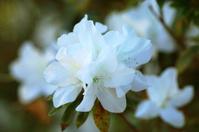 White azalea flowers in spring.