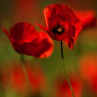 Red Poppy (Papaver rhoeas)