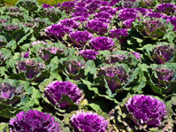 Violet ornamental cabbage in nature