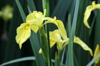 Yellow Flag Iris - Iris pseudacorus