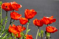 Red poppies (Brilliant Red Oriental Poppy flower / Papaver Orien