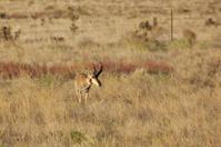 Nice Pronghorn buck