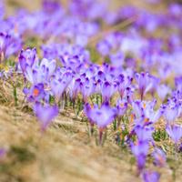 Blooming violet crocuses, spring flower
