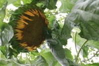 Sunflower - blossom falls