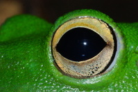 White lipped tree frog eye