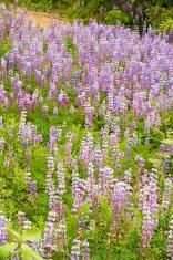 Blue Lupine Wildflower