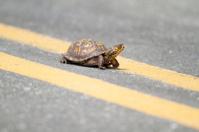 Box Turtle Crossing Road