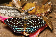 Female of Common Aarchduke butterfly on fruit