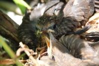 Blackbird Nest with Babies, Turdus Merula, Amsel