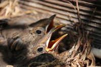 Blackbird Babies in their Nest, Turdus Merula, Amsel